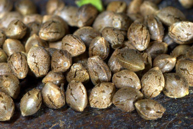 семена конопляные